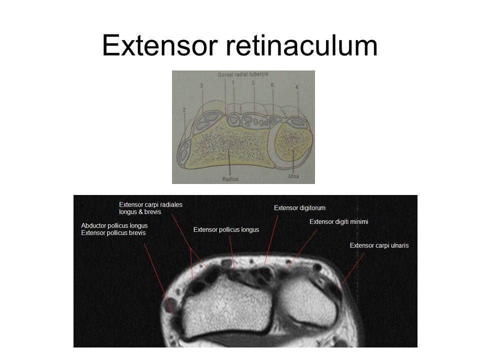 Extensor retinaculum
