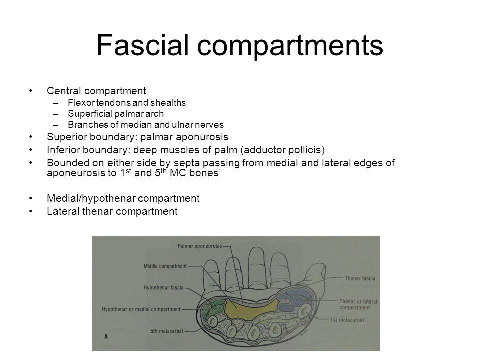Fascial compartments Central compartment