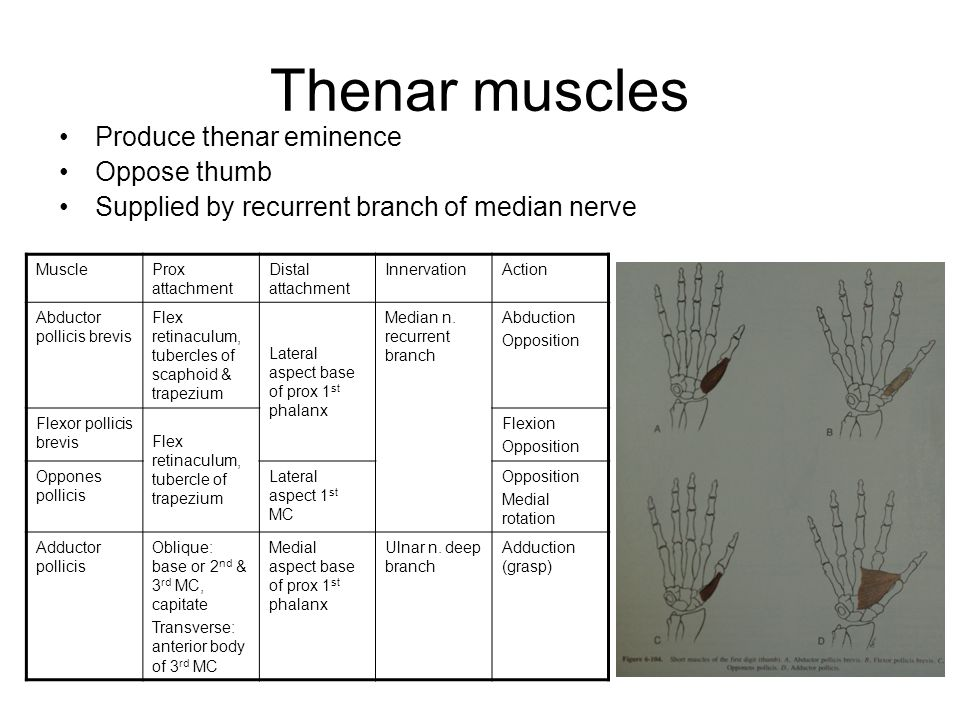 Thenar muscles Produce thenar eminence Oppose thumb