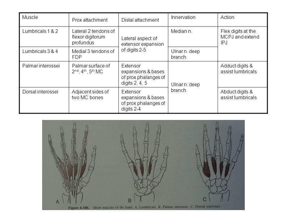 Muscle Prox attachment. Distal attachment. Innervation. Action. Lumbricals 1 & 2. Lateral 2 tendons of flexor digitorum profundus.