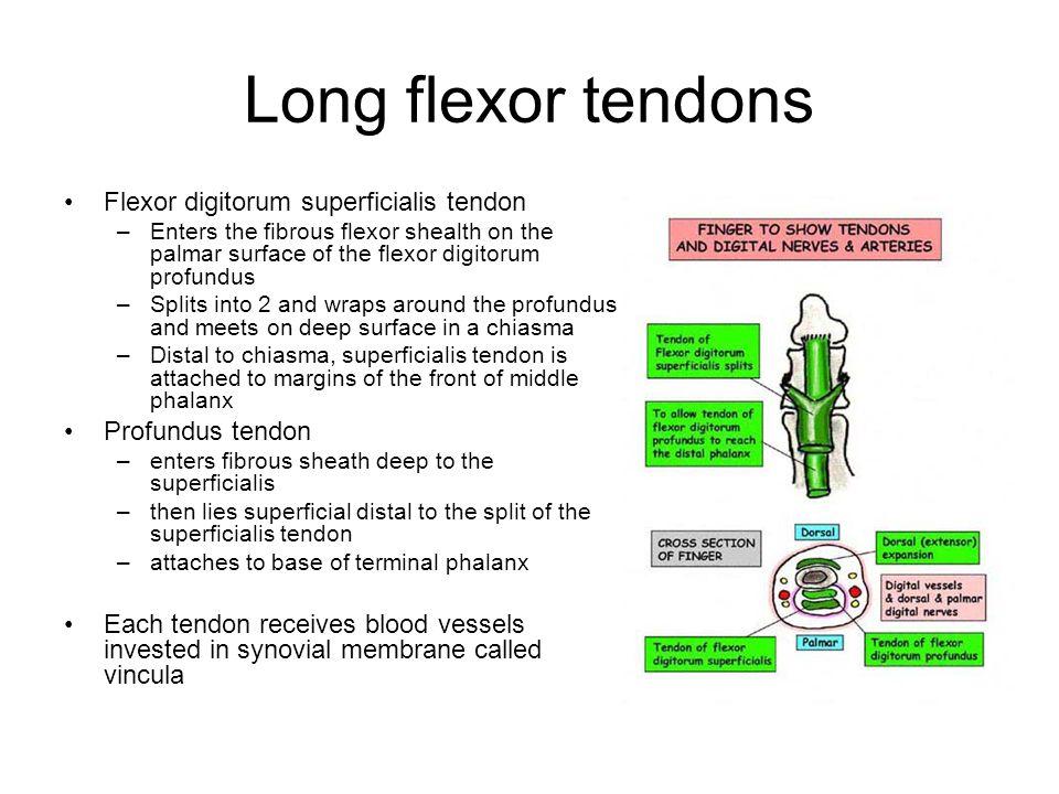 Long flexor tendons Flexor digitorum superficialis tendon