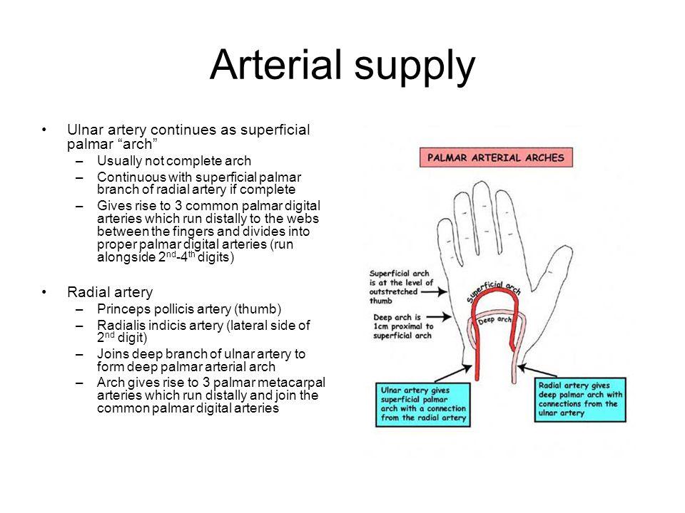 Arterial supply Ulnar artery continues as superficial palmar arch