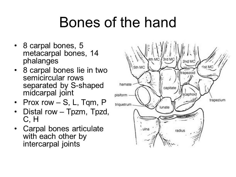 Bones of the hand 8 carpal bones, 5 metacarpal bones, 14 phalanges