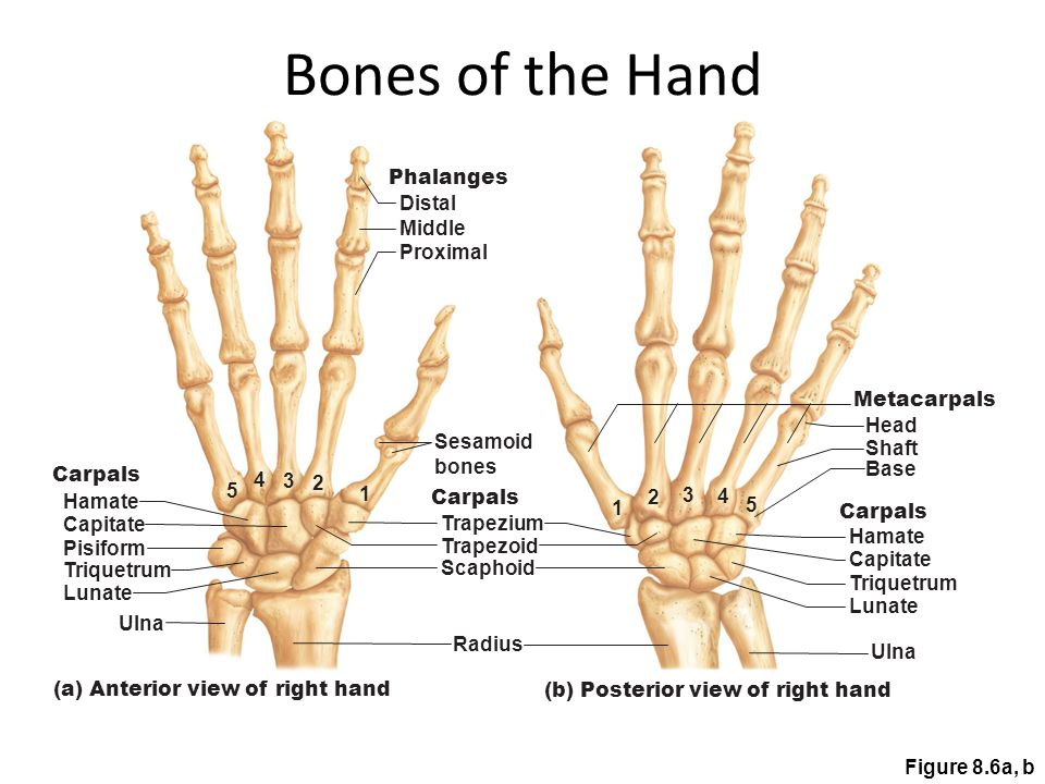 Bones of the Hand Phalanges Distal Middle Proximal Metacarpals Head