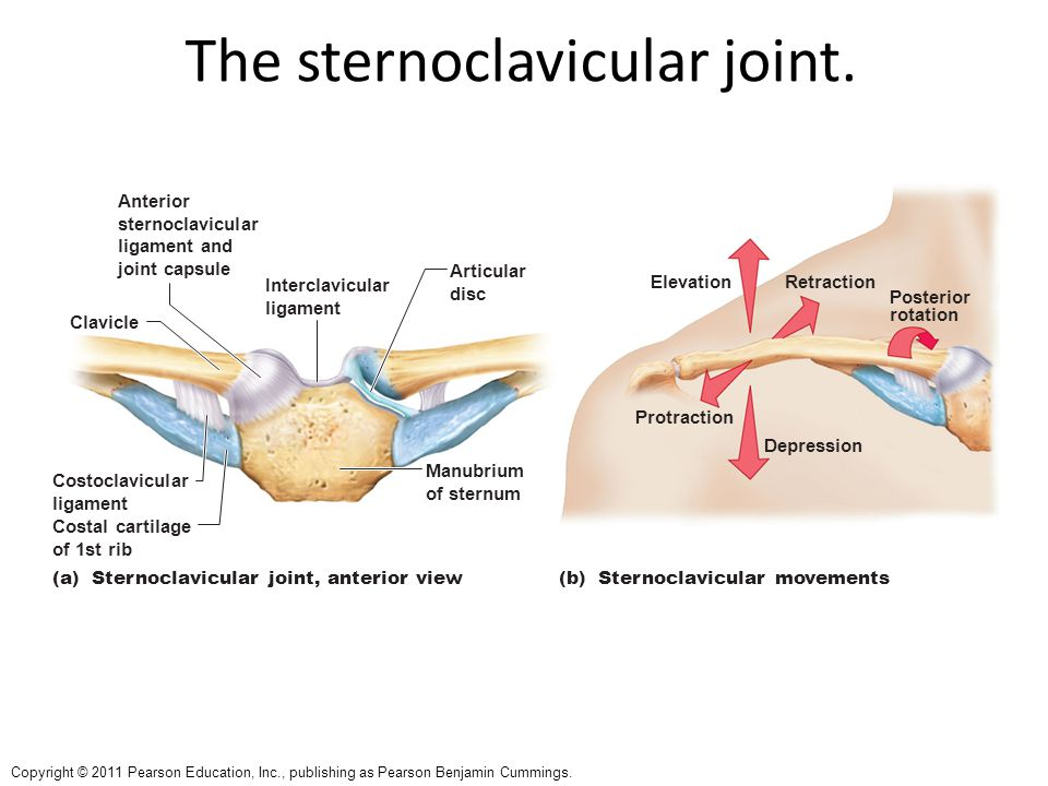 The sternoclavicular joint.