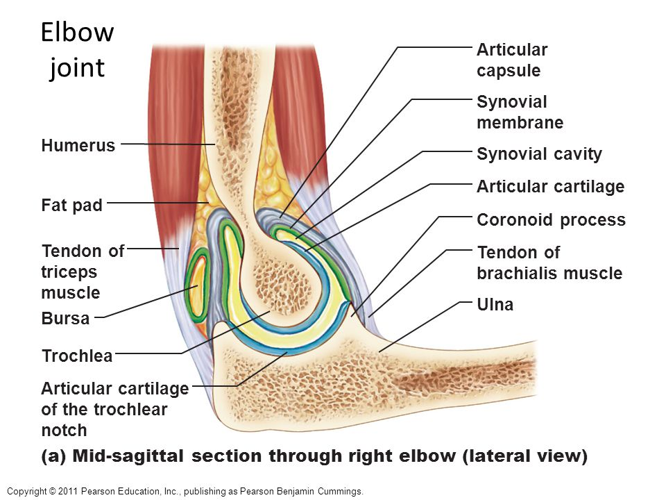 Elbow joint Articular capsule Synovial membrane Humerus