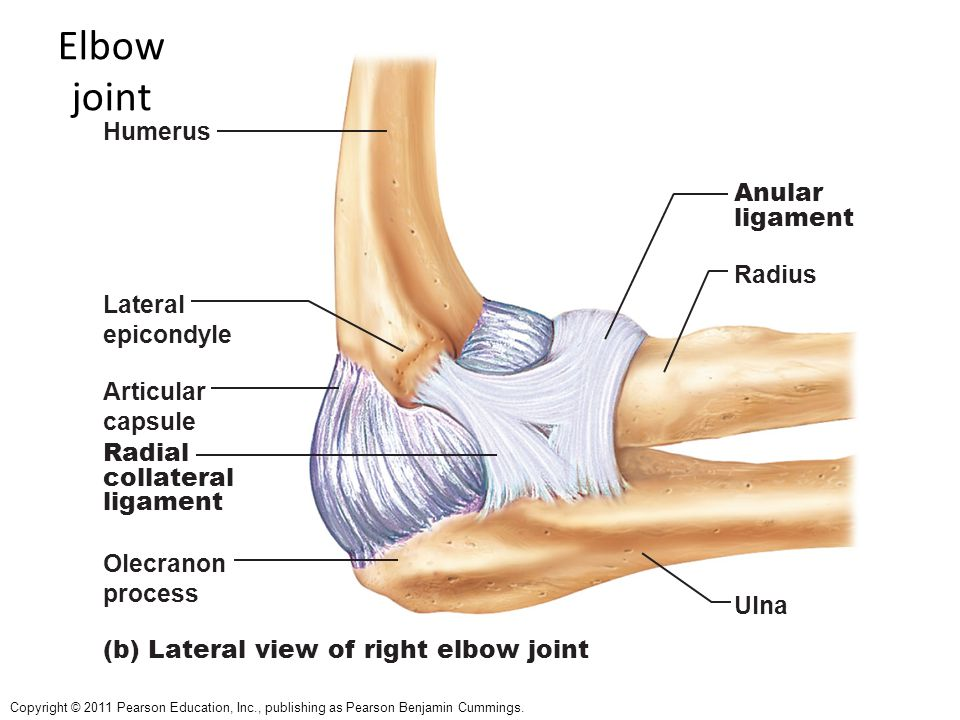 Elbow joint Humerus Anular ligament Radius Lateral epicondyle