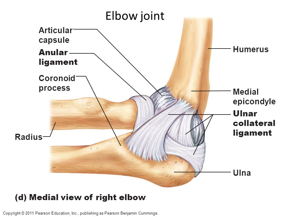 Elbow Joint Ligaments Gallery Human Anatomy Organs Diagram