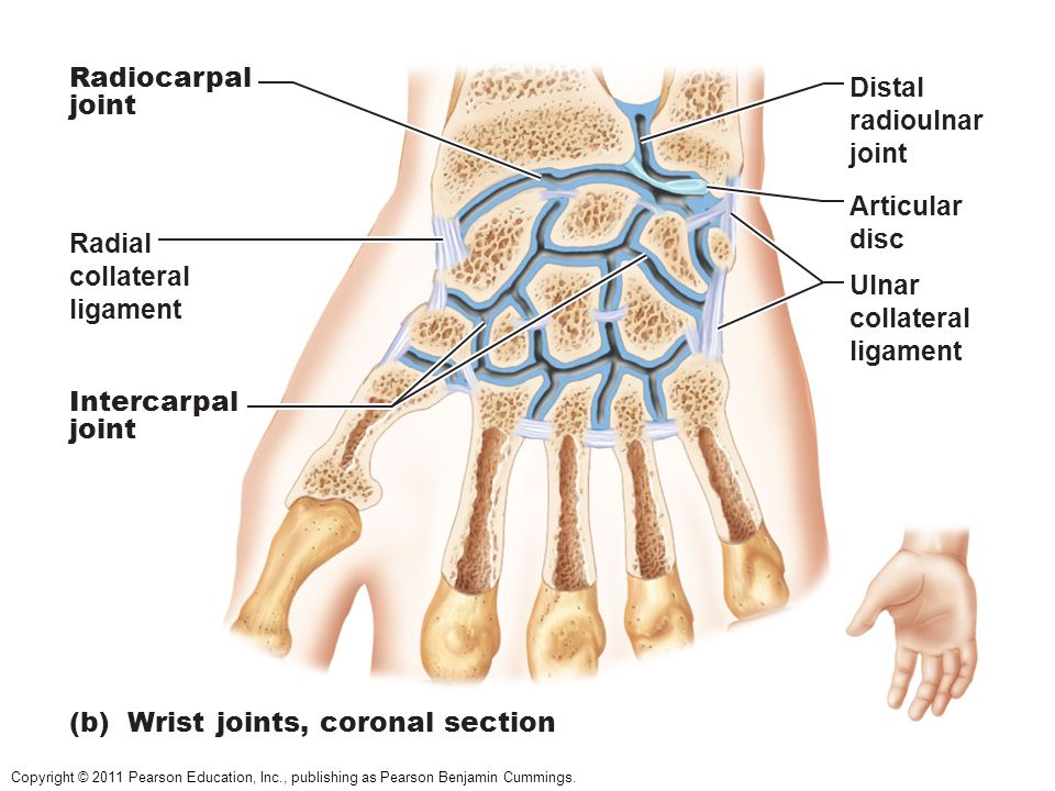 Radiocarpal joint. Distal. radioulnar. joint. Articular. disc. Radial. collateral. ligament.
