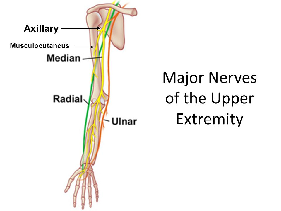 Major Nerves of the Upper Extremity