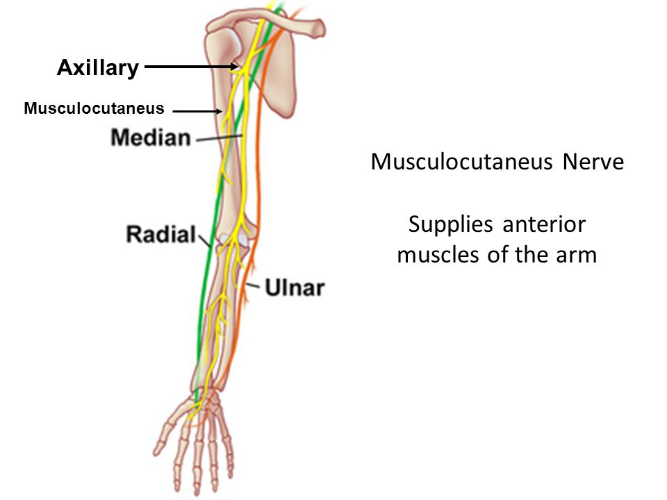 Musculocutaneus Nerve Supplies anterior muscles of the arm