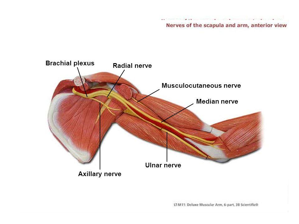 Brachial plexus Radial nerve. Musculocutaneous nerve. Median nerve. Ulnar nerve. Axillary nerve.