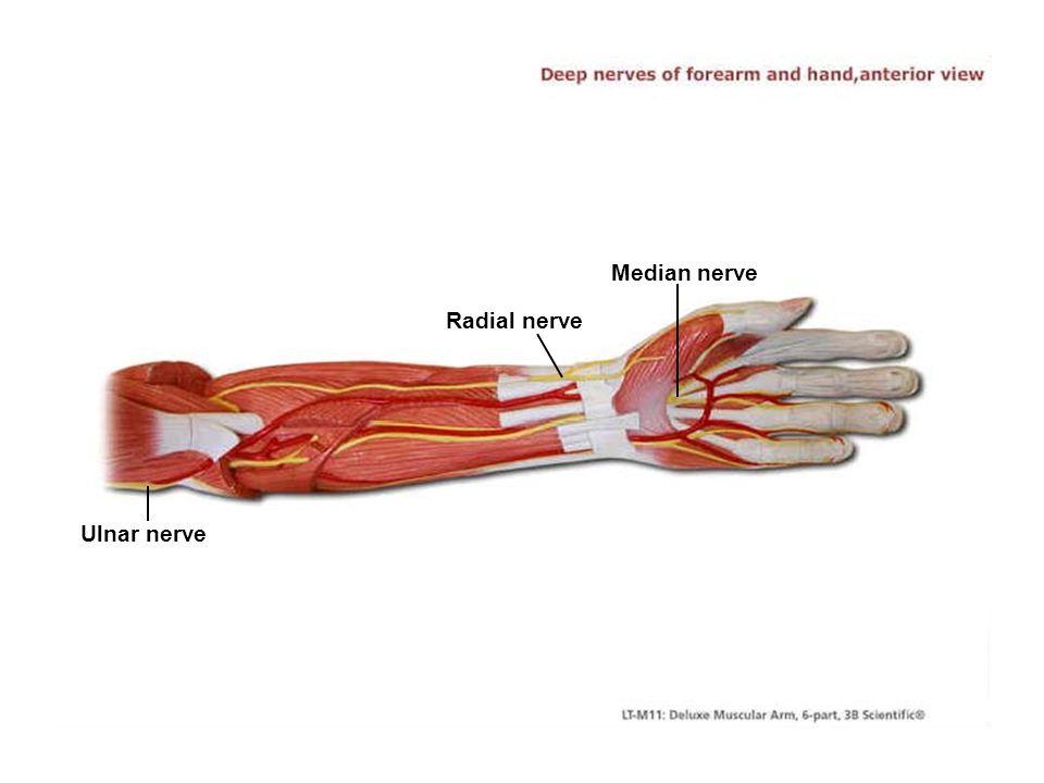 Median nerve Radial nerve Ulnar nerve
