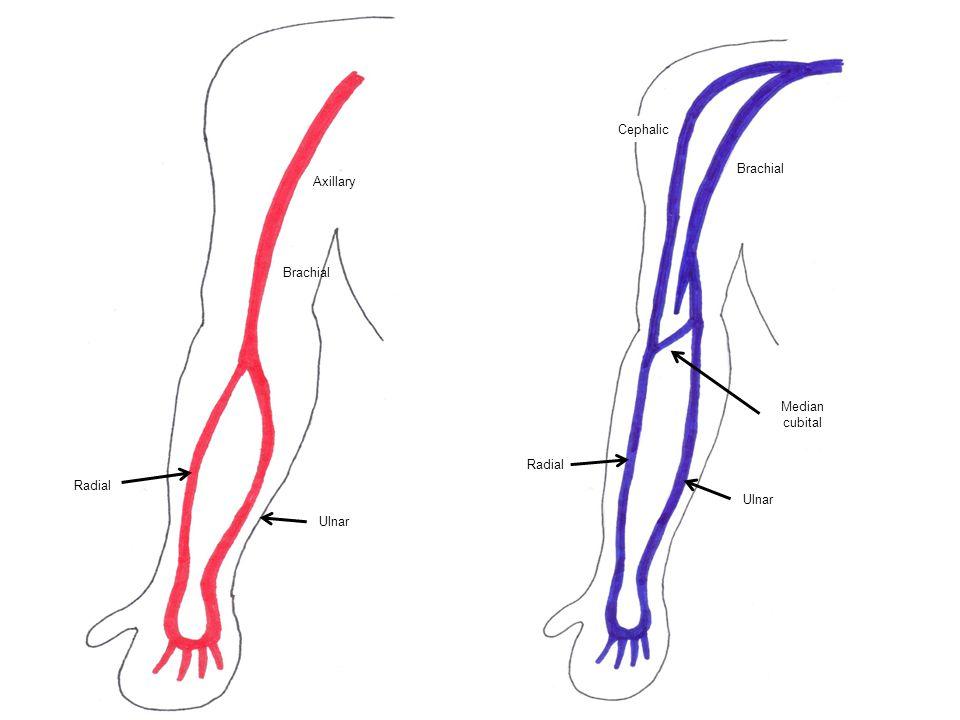 Cephalic Brachial Axillary Brachial Median cubital Radial Radial Ulnar Ulnar