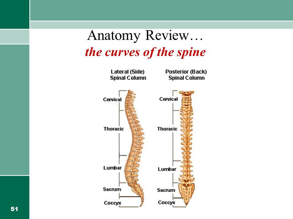 Anatomy Review… the curves of the spine
