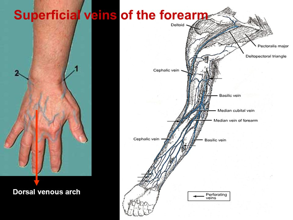 Superficial veins of the forearm
