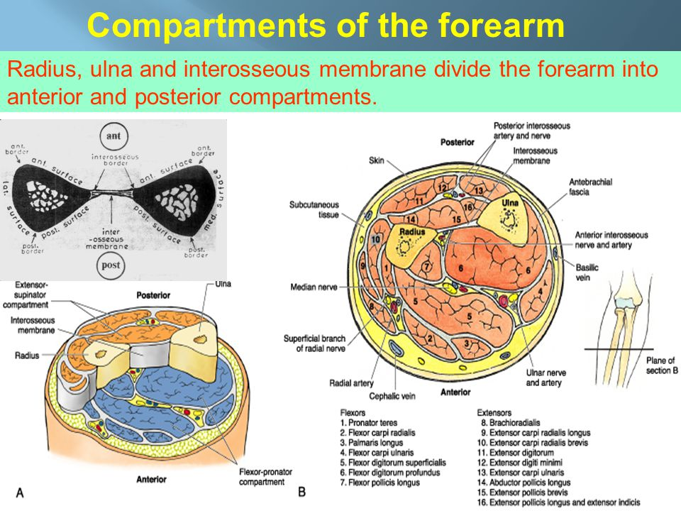 Compartments of the forearm