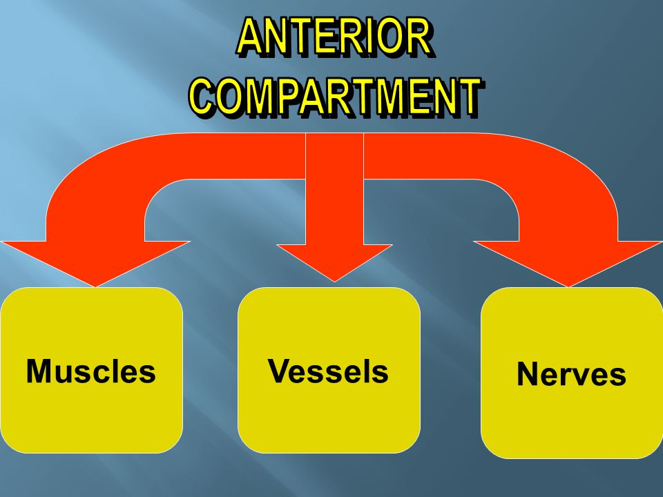 ANTERIOR COMPARTMENT Muscles Vessels Nerves
