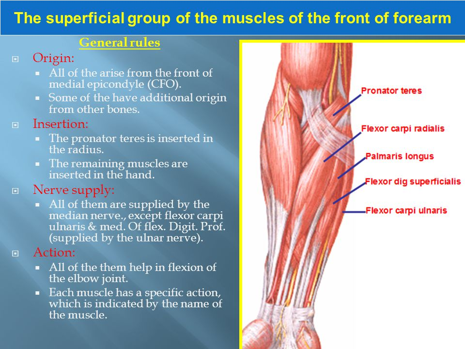 The superficial group of the muscles of the front of forearm