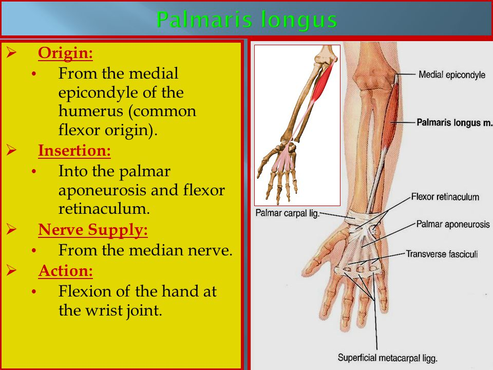 Palmaris longus Origin: