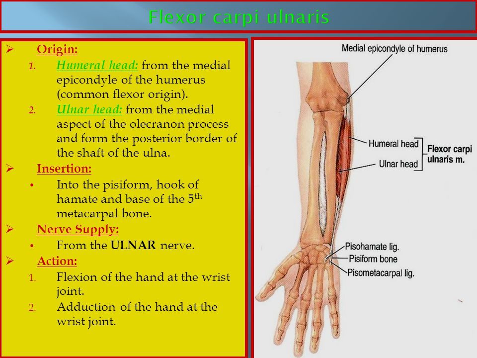 Flexor carpi ulnaris Origin: