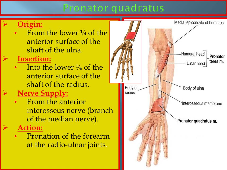 Pronator quadratus Origin: