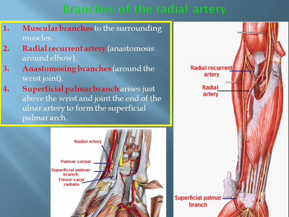 Branches of the radial artery
