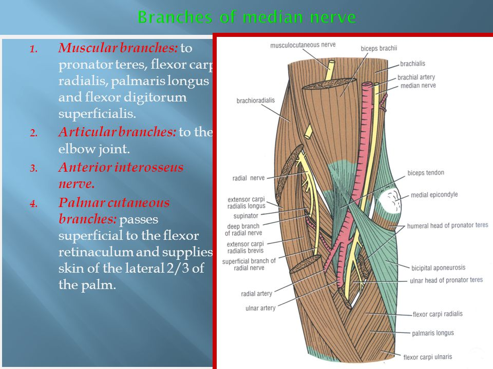 Branches of median nerve
