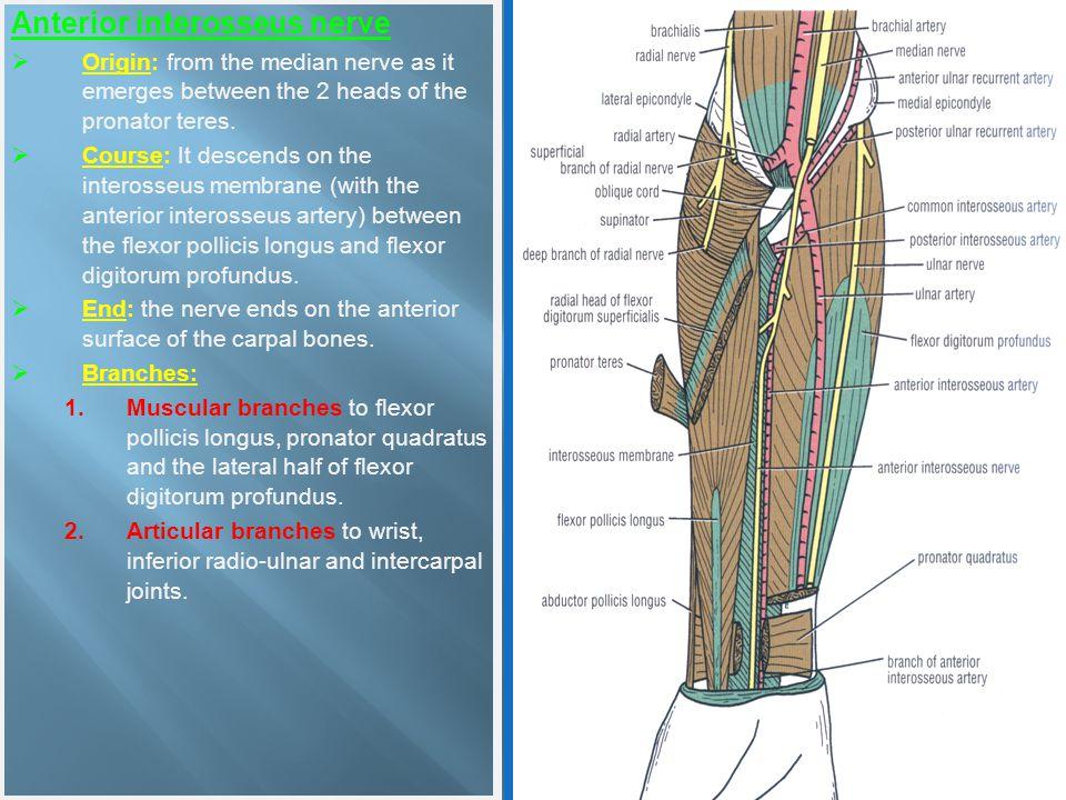 Anterior interosseus nerve