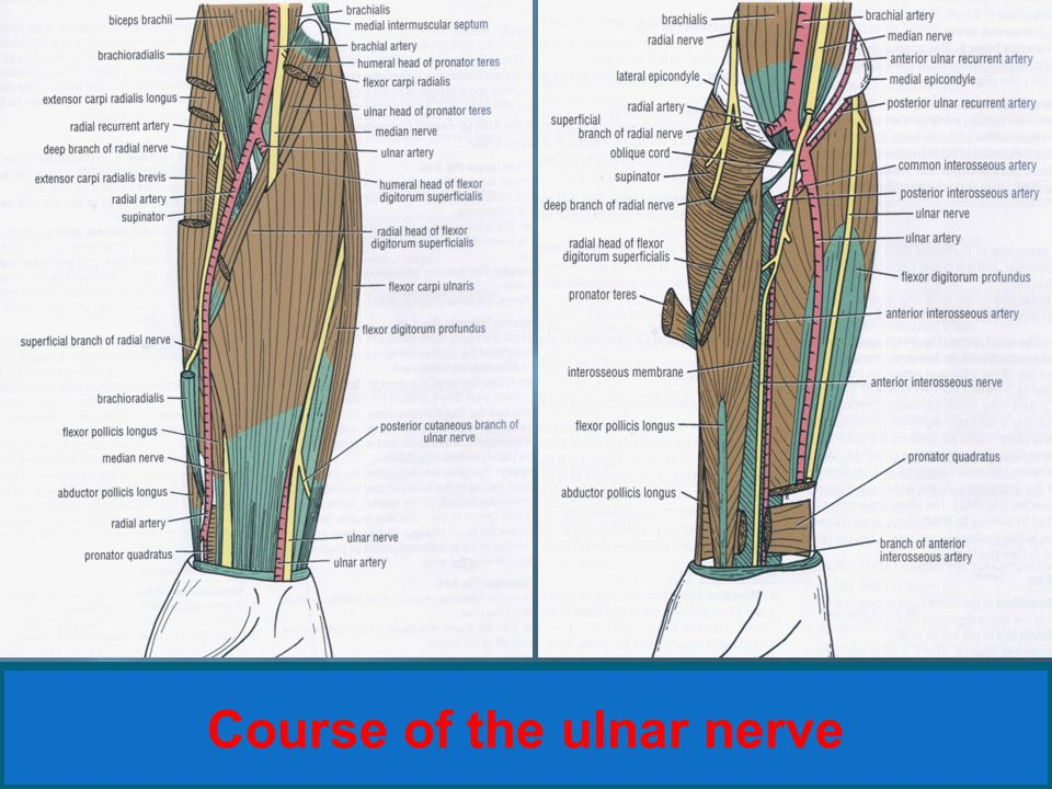 Course of the ulnar nerve