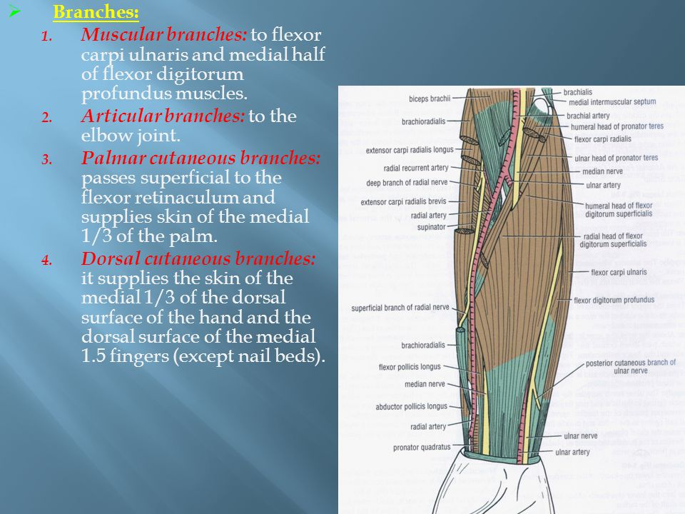 Branches: Muscular branches: to flexor carpi ulnaris and medial half of flexor digitorum profundus muscles.