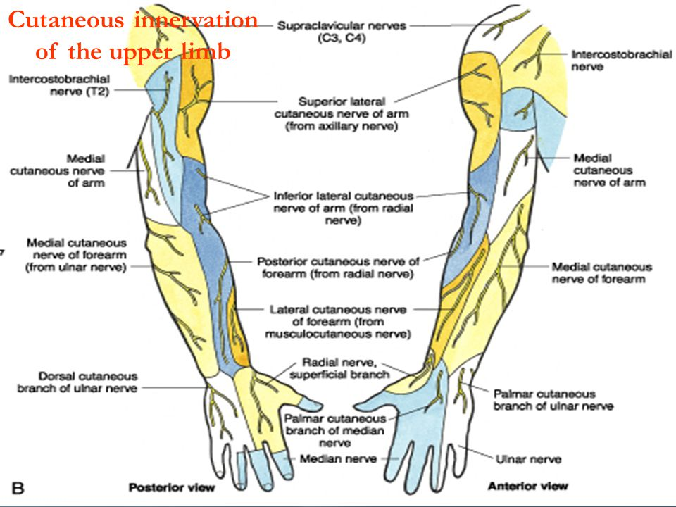 Cutaneous innervation