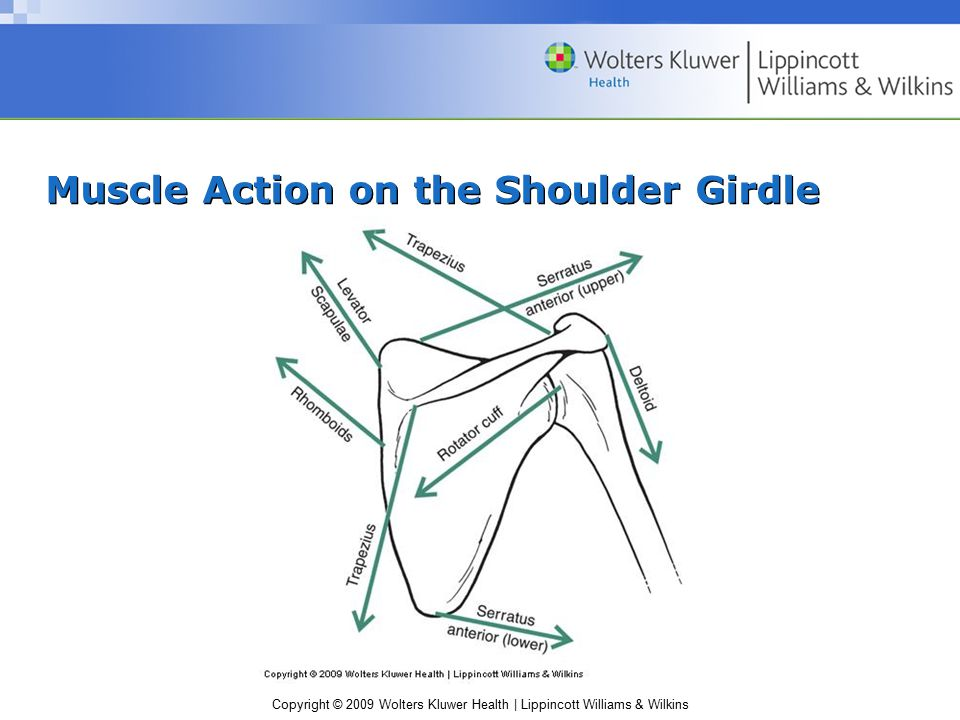 Muscle Action on the Shoulder Girdle