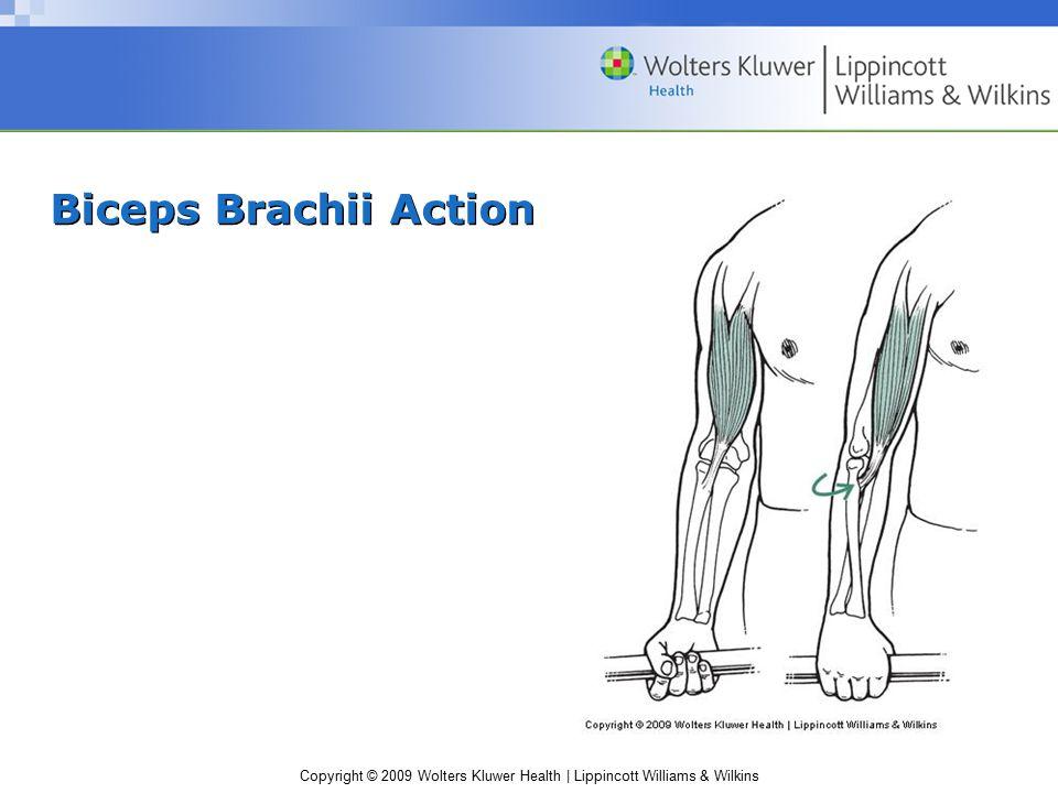 Biceps Brachii Action
