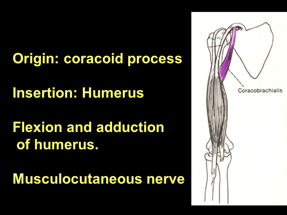 Origin: coracoid process