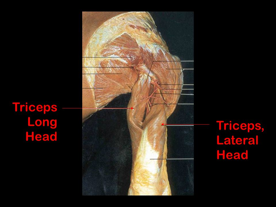 Triceps Long Head Triceps, Lateral Head