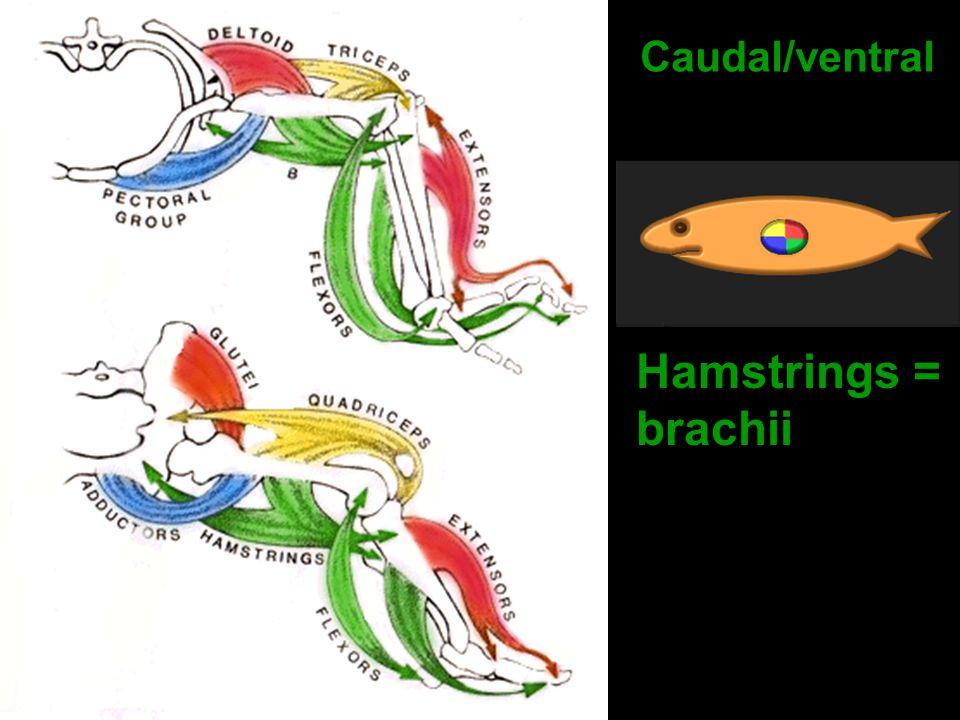Caudal/ventral Hamstrings = brachii