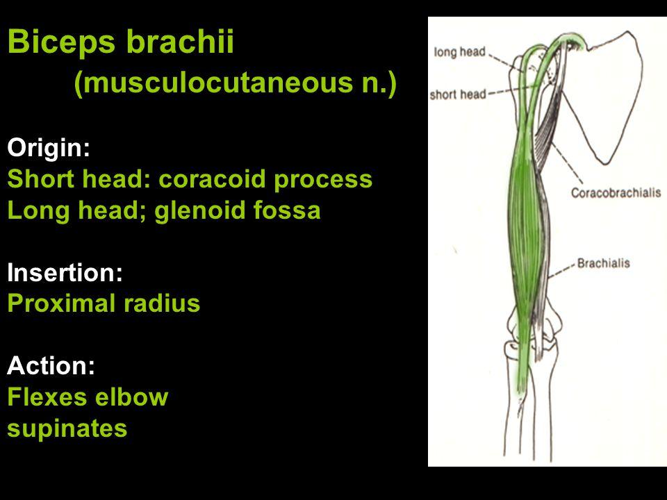 Biceps brachii (musculocutaneous n.)
