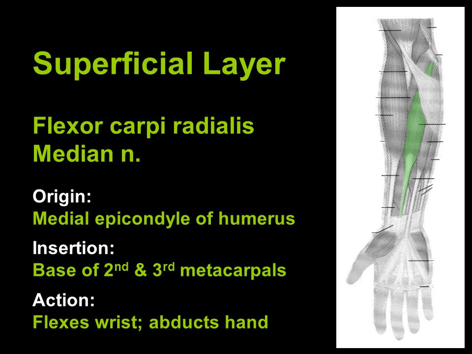 Superficial Layer Flexor carpi radialis Median n.