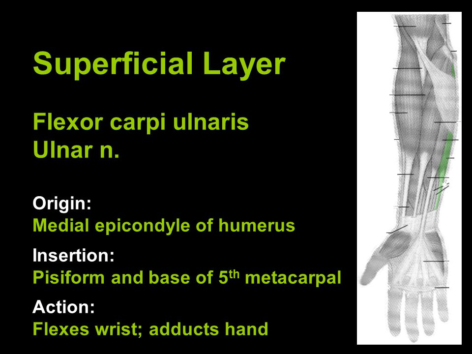 Superficial Layer Flexor carpi ulnaris Ulnar n. Origin: