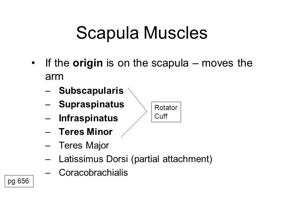 Scapula Muscles If the origin is on the scapula – moves the arm