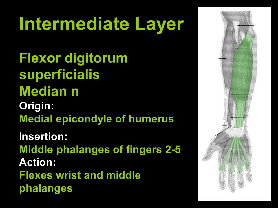 Intermediate Layer Flexor digitorum superficialis Median n Origin: