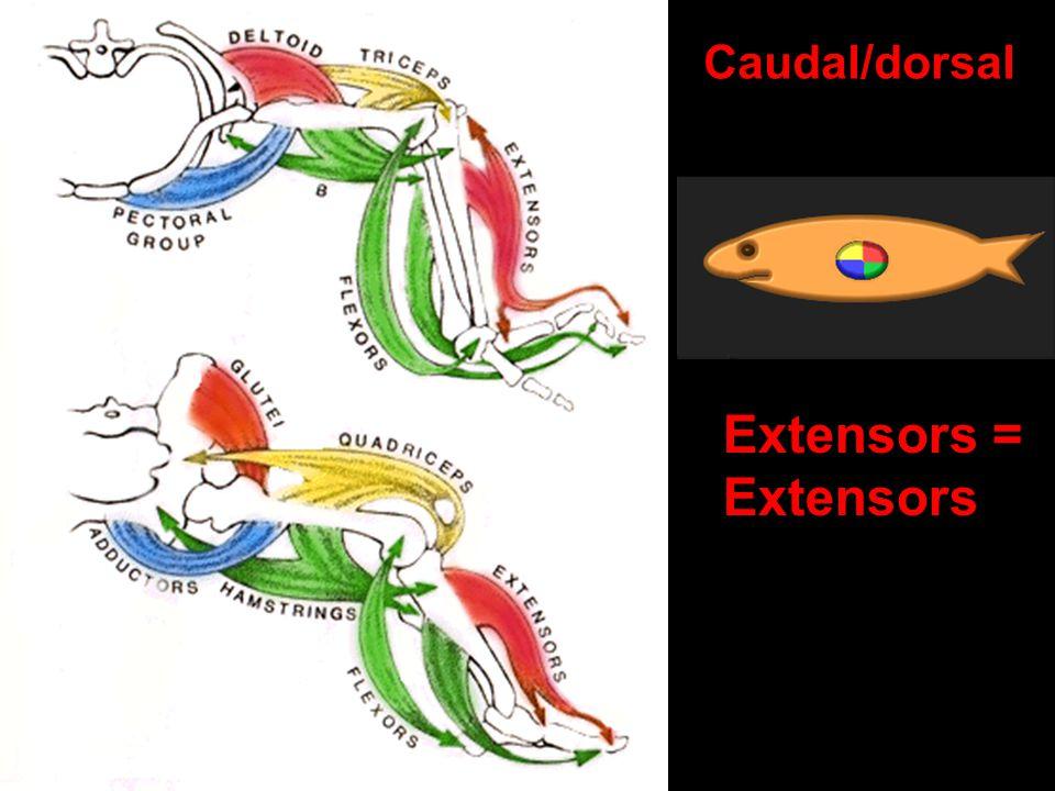 Caudal/dorsal Extensors = Extensors