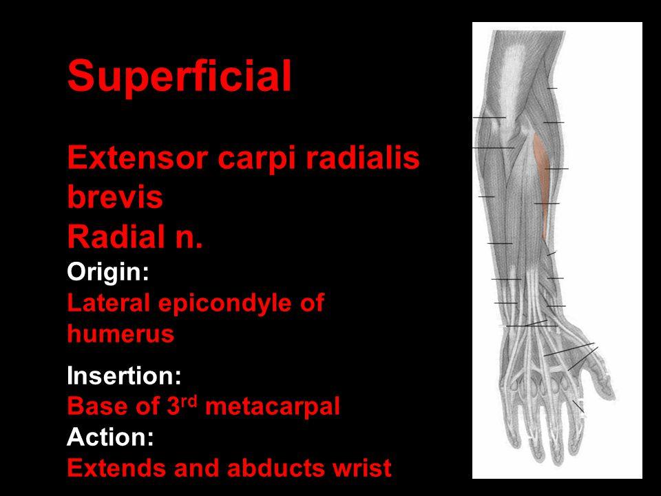 Superficial Extensor carpi radialis brevis Radial n. Origin: