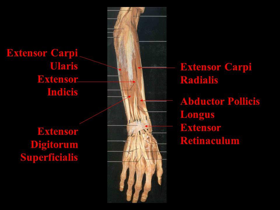 Extensor Carpi Ularis. Extensor Indicis. Extensor Digitorum. Superficialis. Extensor Carpi Radialis.