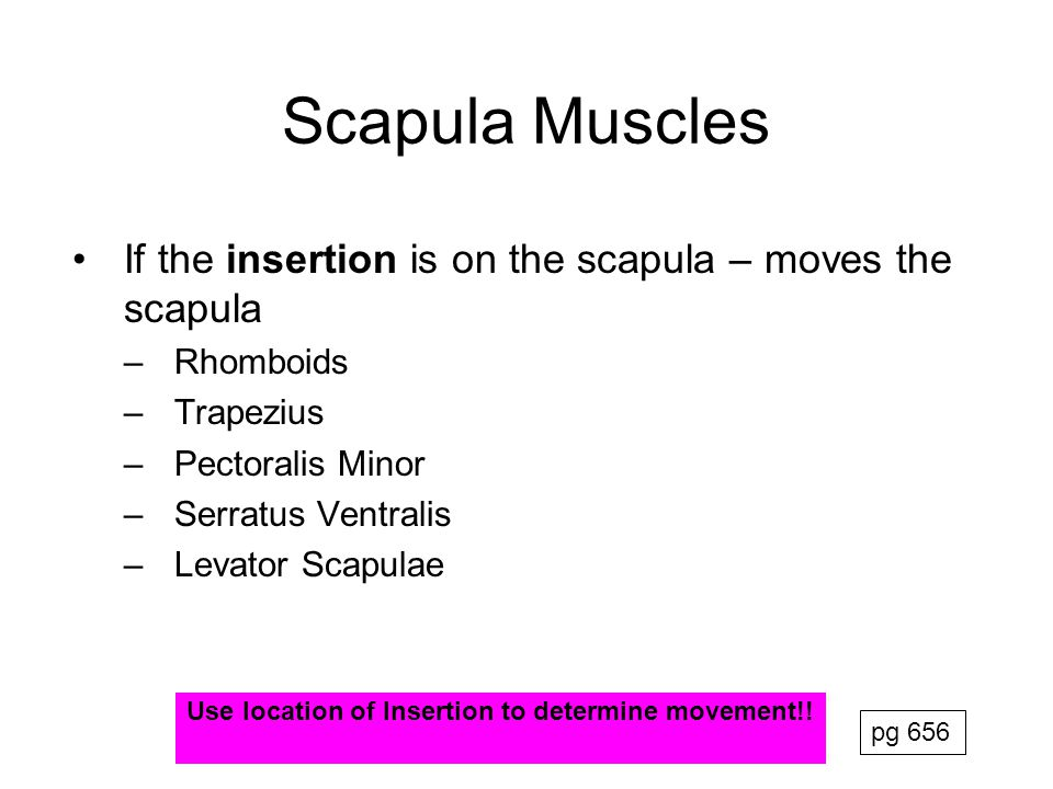 Scapula Muscles If the insertion is on the scapula – moves the scapula
