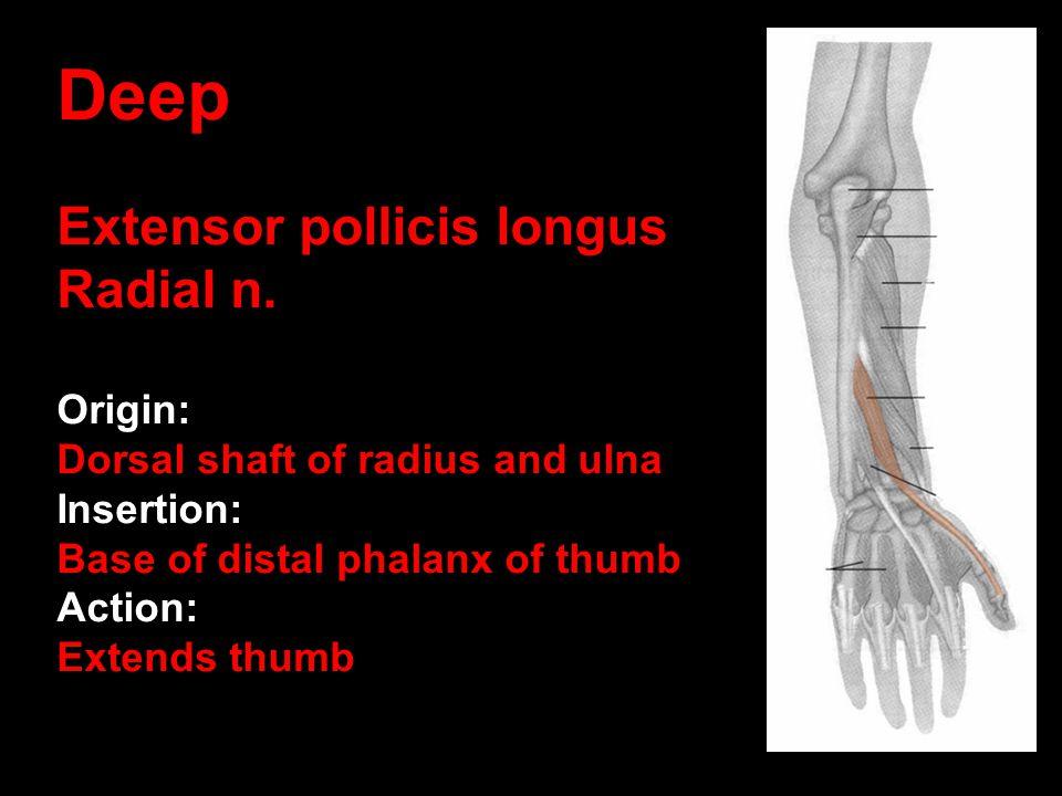 Deep Extensor pollicis longus Radial n. Origin: