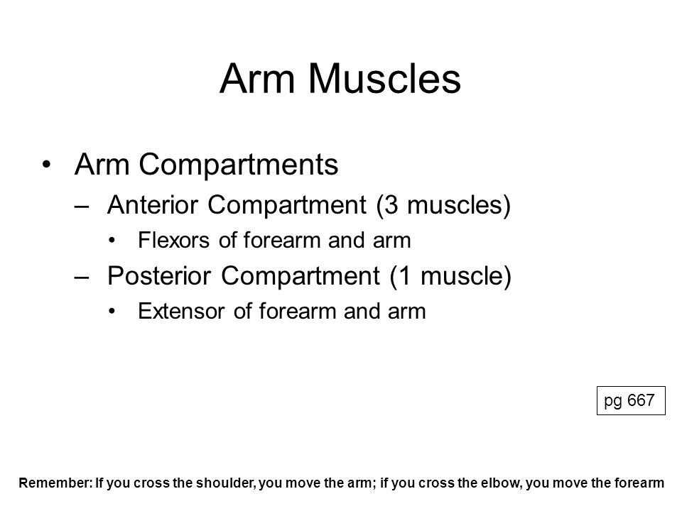 Arm Muscles Arm Compartments Anterior Compartment (3 muscles)