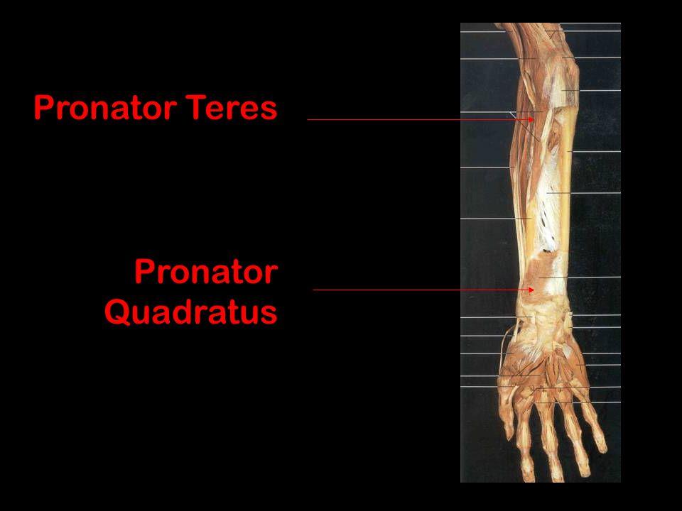 Pronator Teres Pronator Quadratus