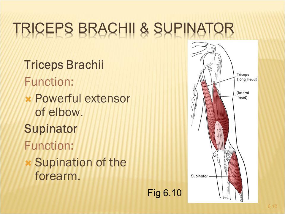 Triceps Brachii & Supinator